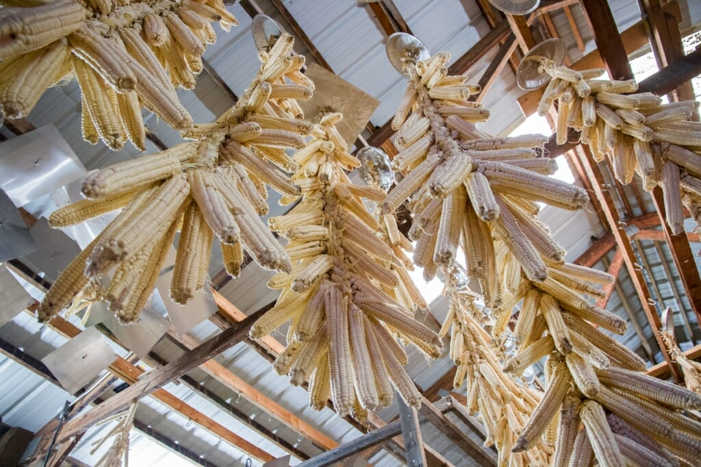 Photo: Dried ears of white corn dangling from ceiling inside a barn