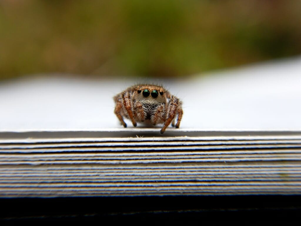 Photo: Close-up of a neotropical jumping spider poised on the edge of the pages of a book