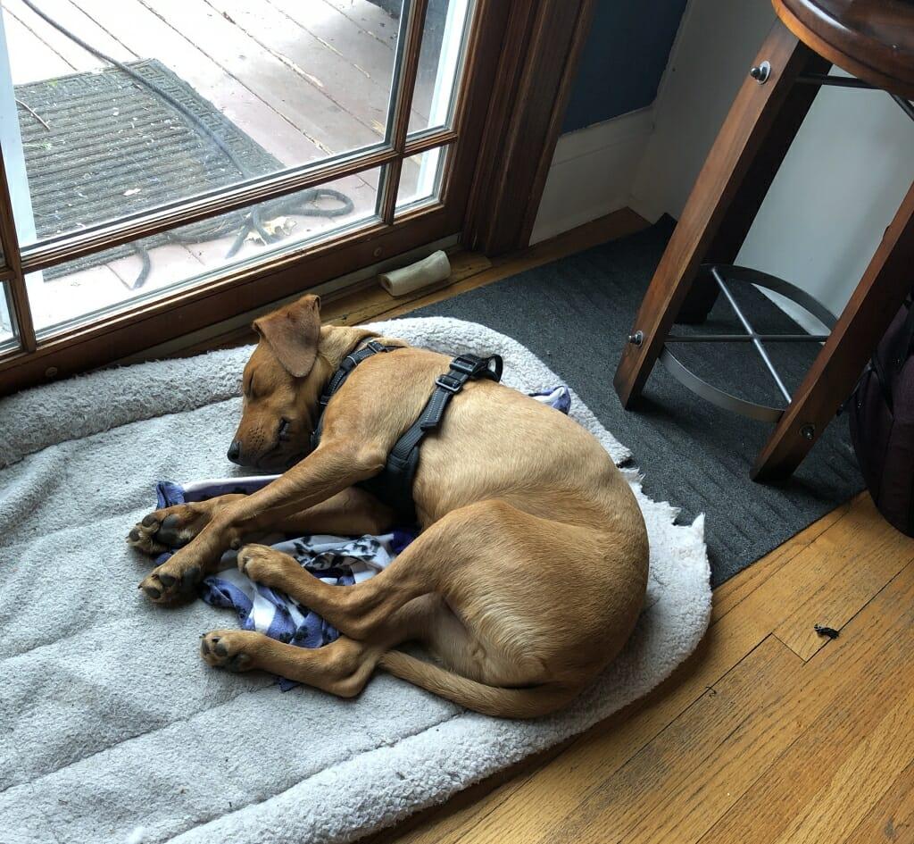 Dog sleeping on chewed-up doggie pillow
