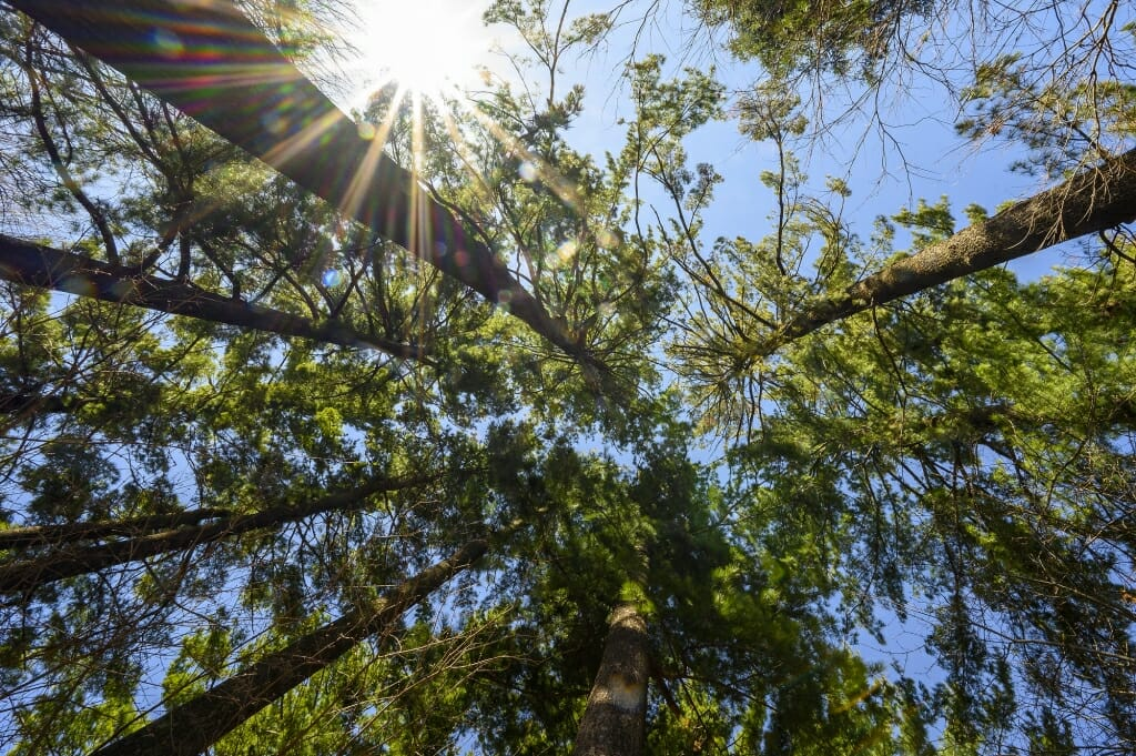 Sunlight shines through a stand of pine trees at the University of Wisconsin-Madison Arboretum during spring on April 20, 2020. (Photo by Bryce Richter / UW-Madison)