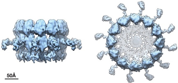 Side and top views of RNA crown structure