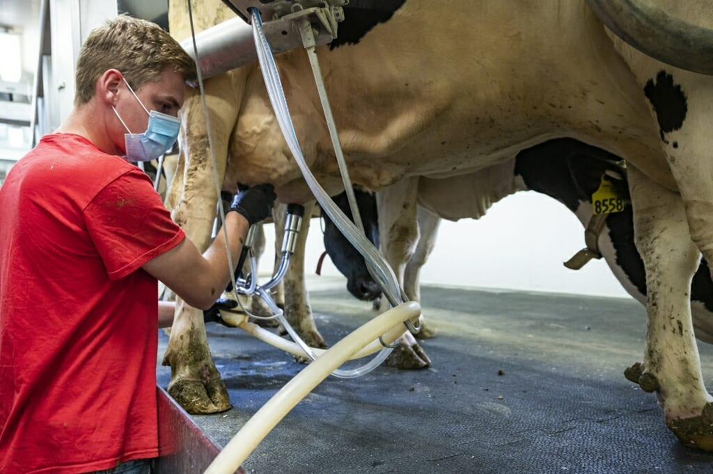 Student hooks up milking machine to cow's udder