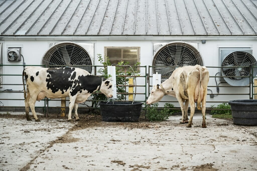 2 cows standing by a large tub