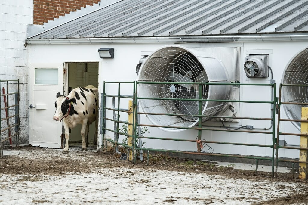 Cow existing building with a large fan in the wall