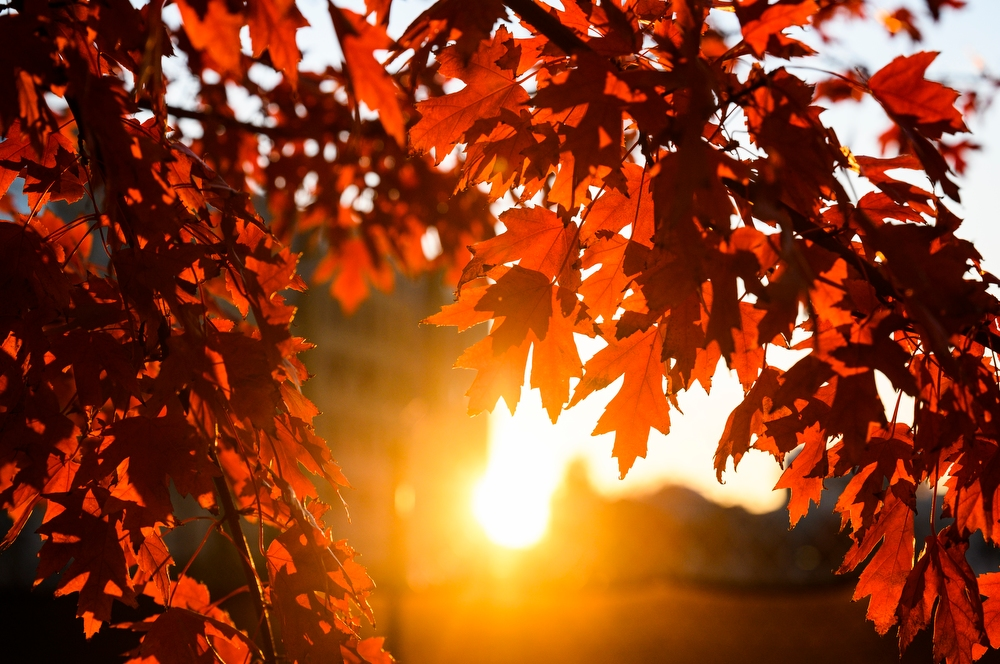 Red tree leaves are backlit by orange sunlight during an autumn sunset on Oct. 27.