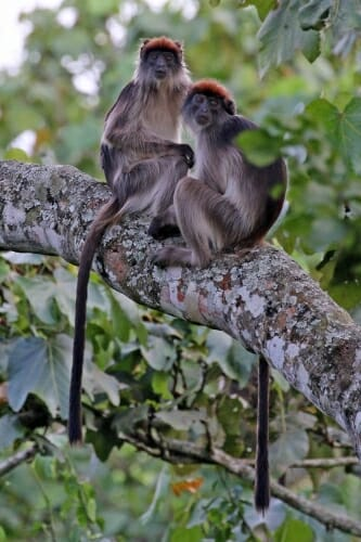 2 Ugandan red colobus in a tree
