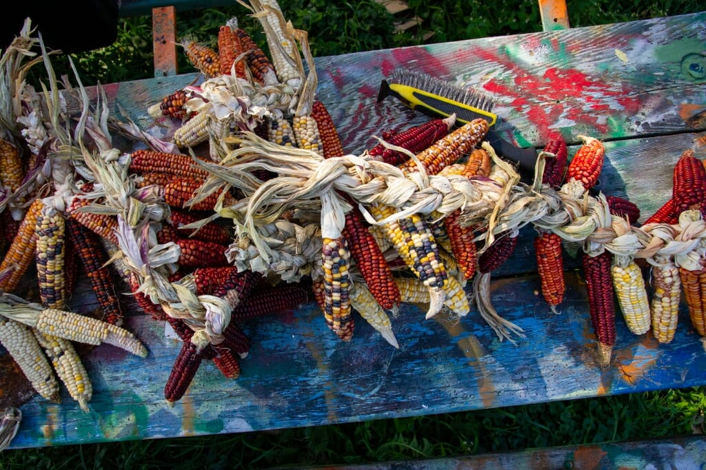 Bunches of braided corn on a table