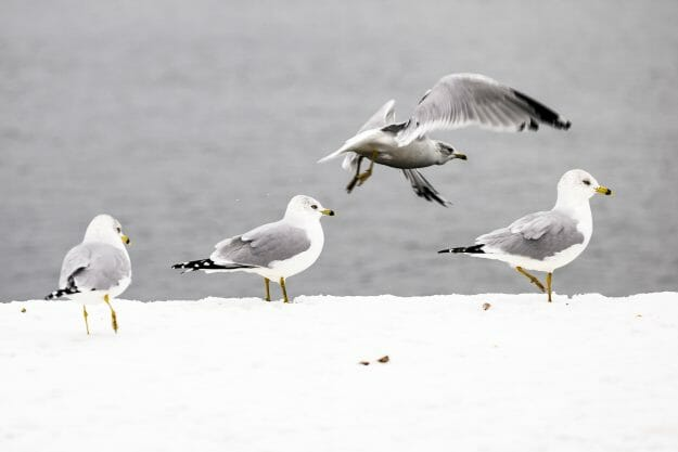 A flock of seagulls perch on the Goodspeed Family Pier and look out on the open water of Lake Mendota.