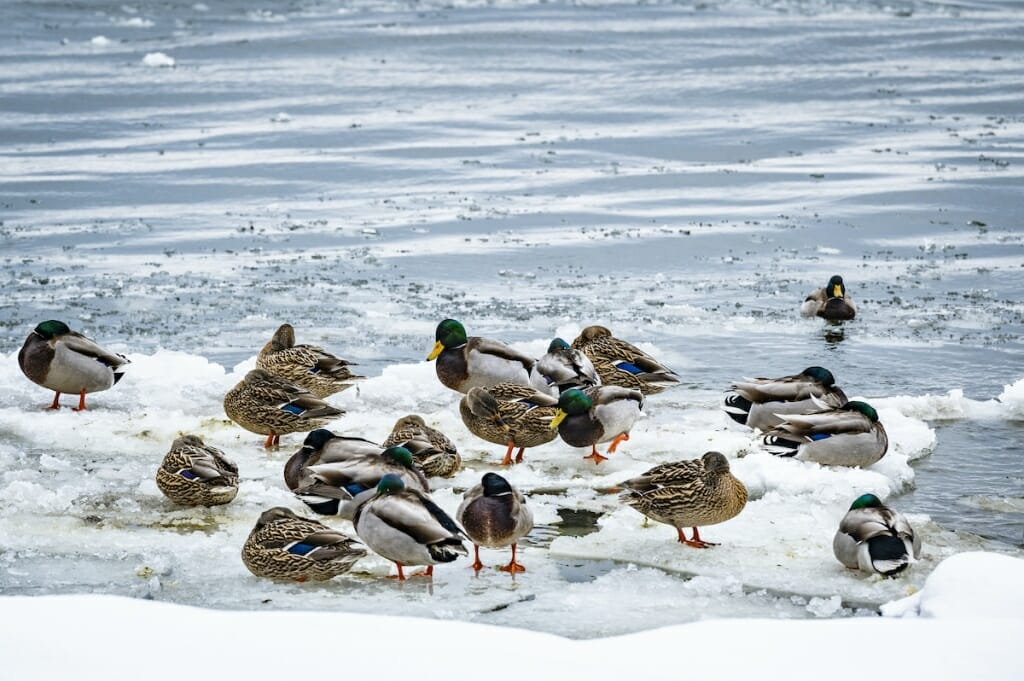 A small flock of mallards standing on a snow-and-ice-covered patch of the lake