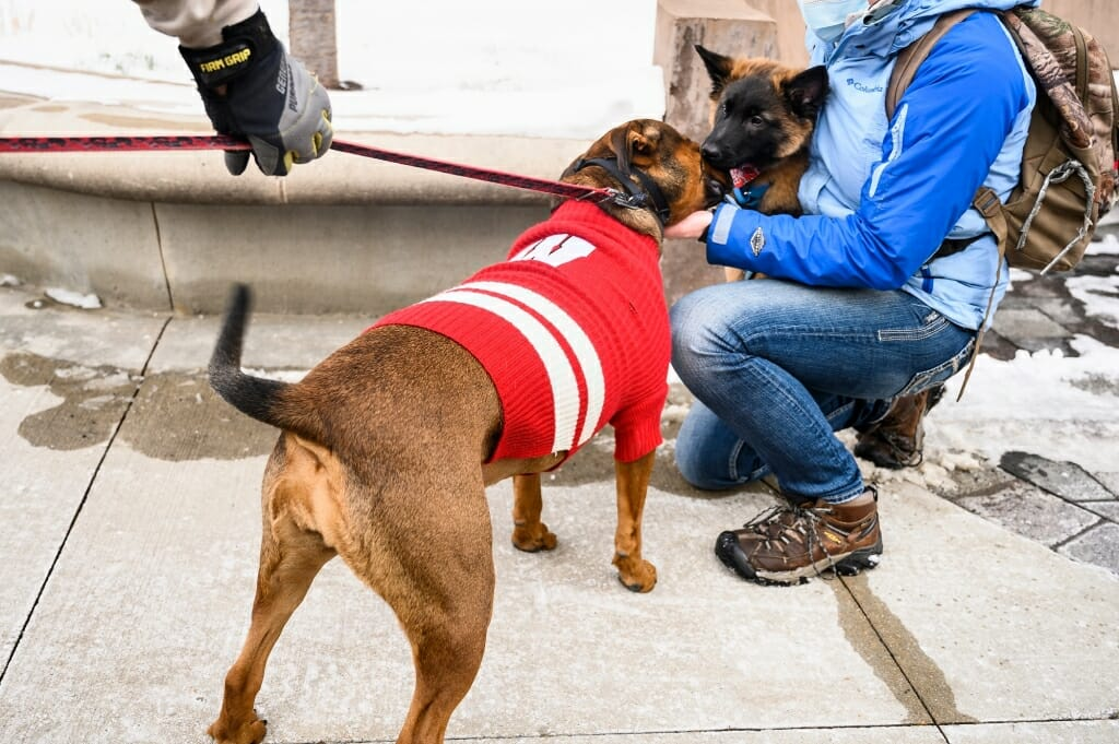 Sporting a motion W-branded sweater, Ruprai, a rottweiler, boxer and pit bull mix, greets a 12-week old Belgian  Tervuren named Eager.
