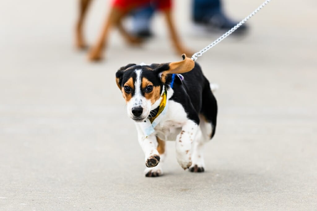Tanner, a five-month-old beagle, breaks into a trot as more than 30 registrants participate in the Wisconsin Union's Hound Hike.
