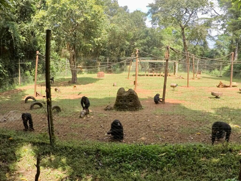 Several chimps in an outdoor enclosure