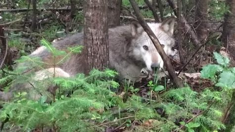 A wolf lying on the ground between trees