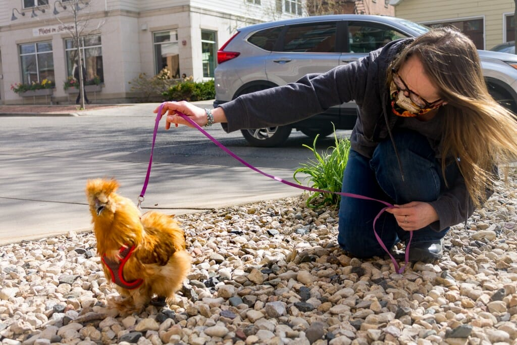 Person holding a chicken by a leash