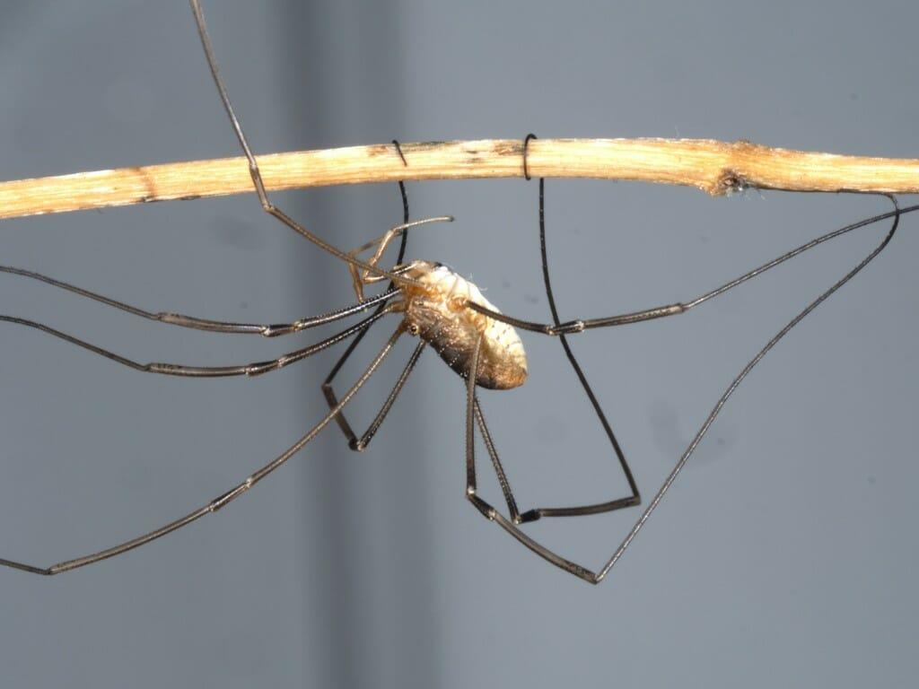 Closeup of daddy longlegs on a stick