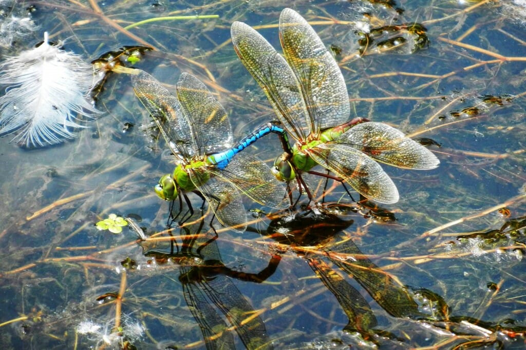 Dragonflies on the water