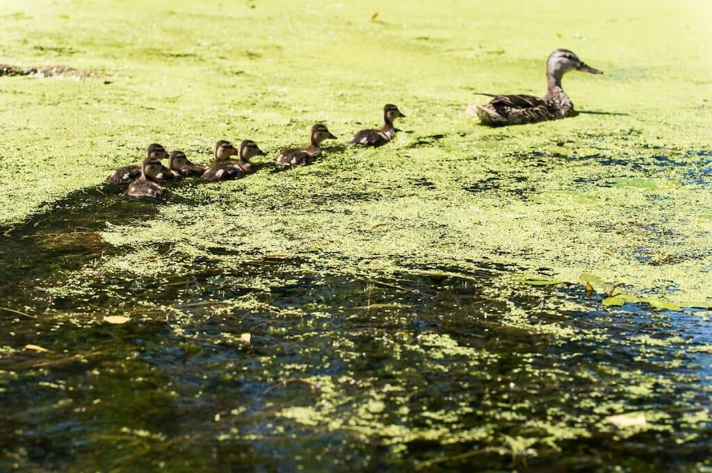 Ducks swimming through algae
