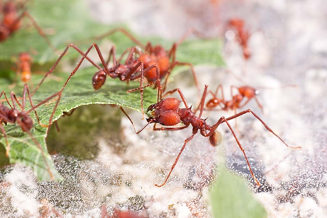 the anatomy and importance of the leaf cutter ant