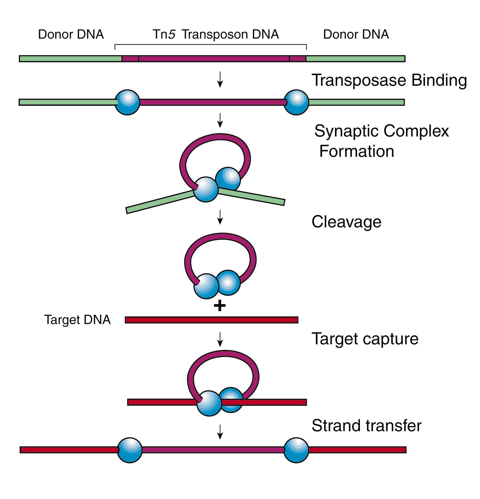 Glossomics dna transposons 1 dna transposon example ccuart Gallery