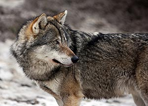 Photo of a grey wolf.