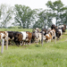 Photo: Dairy cows grazing
