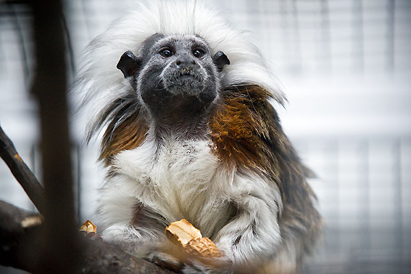 Photo: cotton-top tamarin