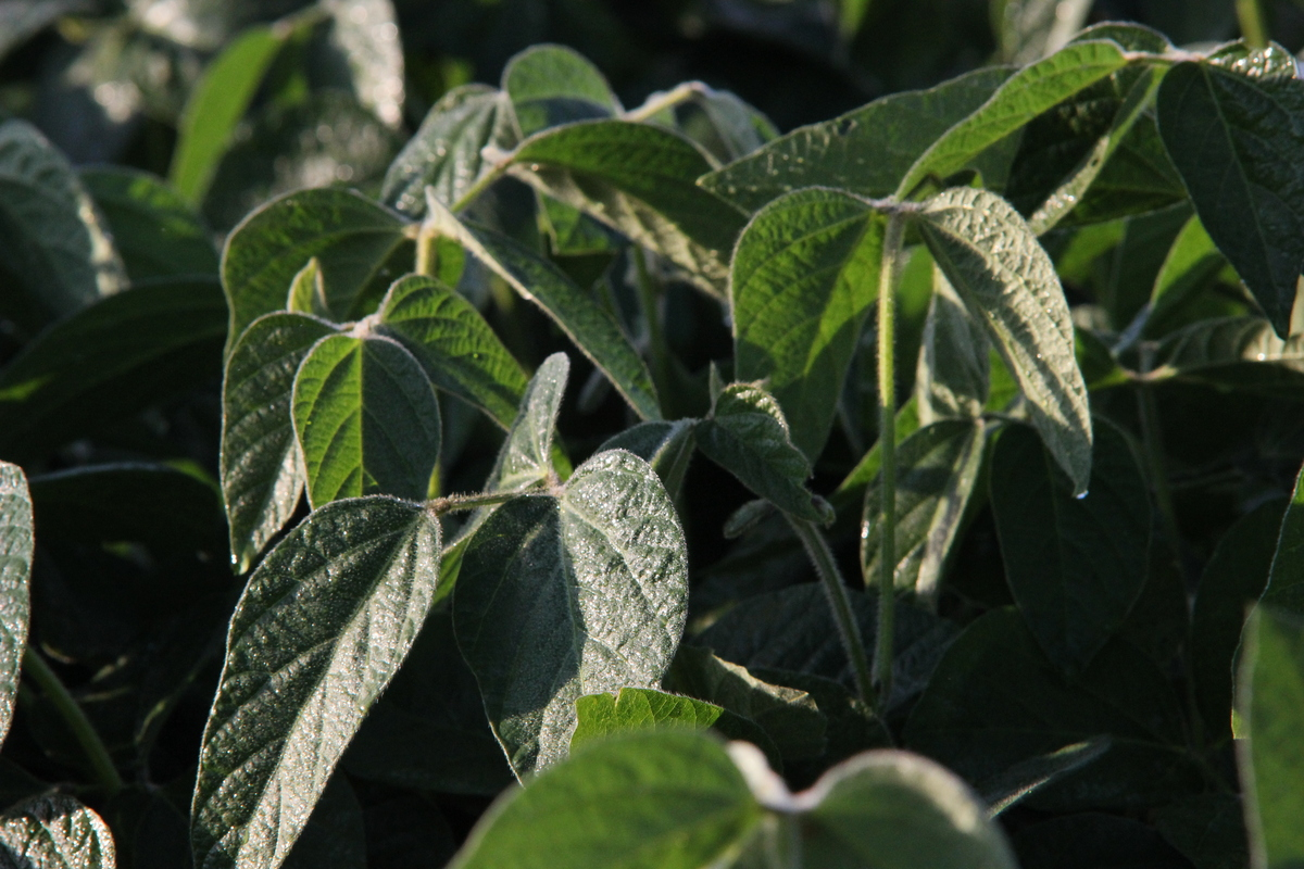 Photo: Soybeans