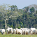 Photo: Brazilian cattle