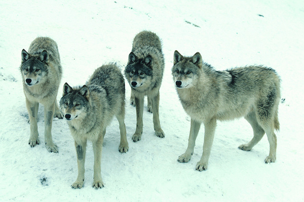 Photo: Pack of wolves