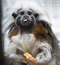 [photo] tamarin