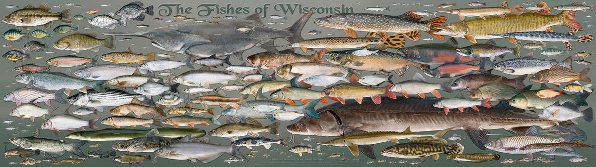 Image: Fishes of Wisconsin Poster