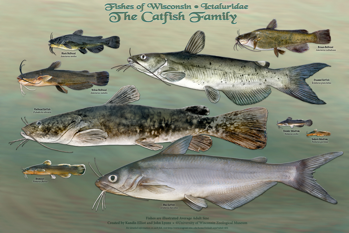 Wisconsin s fish all of them star in new poster series for Are fish mammals