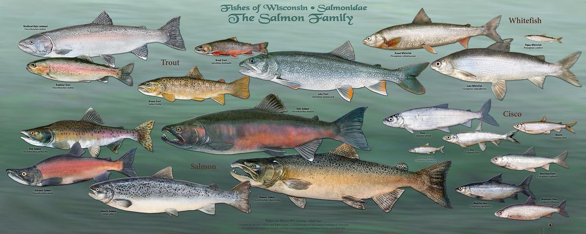 Image: Salmon poster