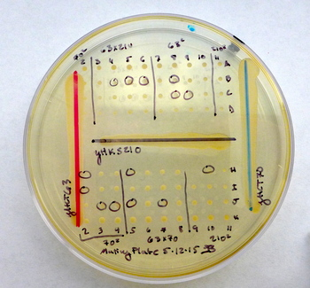 Photo: Plate of yeast species