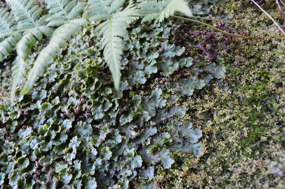 Photo: Liverwort plants