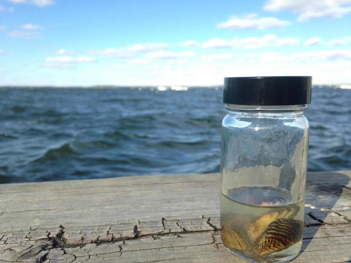 Photo: Zebra mussels in a jar
