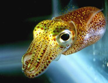 [photo] Hawaiian Bobtail squid.