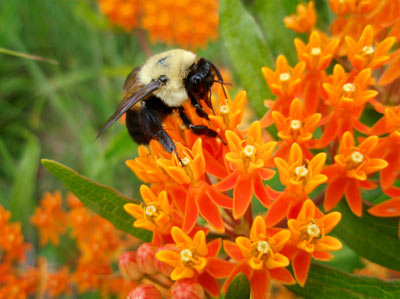 Photo of a bumblebee pollinating a milkweed plant.