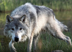 Is Hunting Wolves Key To Their Conservation