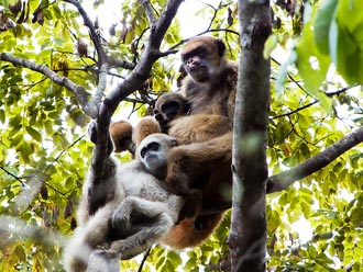 Photo showing a muriqui monkey mother with her two male offspring.
