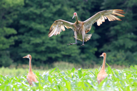 Photo: Sandhill cranes