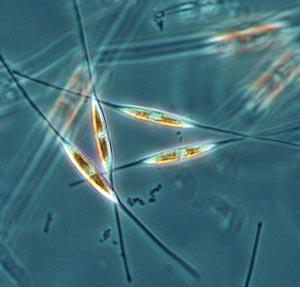 Image of a diatom