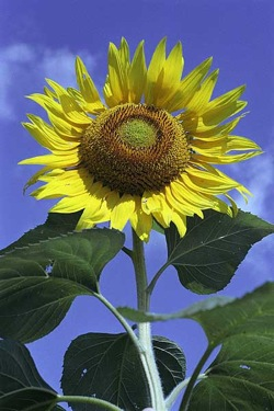 Photo: Sunflower