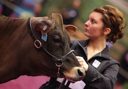 Photo: cow and exhibitor