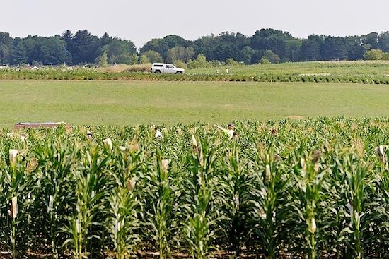 Photo: corn field