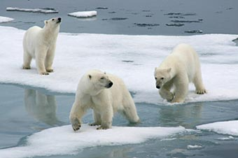 Photo of polar bears on ice