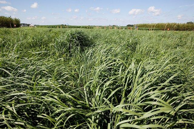 Photo: Switchgrass