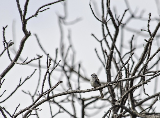 Photo: chirping sparrow in tree without buds
