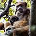 Photo of Muriqui monkey mother