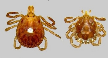 Photo: male and female lone star ticks